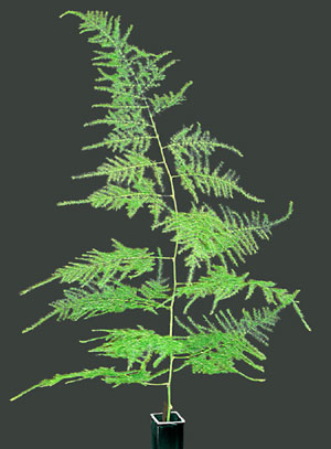 Plumosus Fern Ferns For Floral Arrangements Buy Fresh From Florida Consumer Resources Home Florida Department Of Agriculture Consumer Services